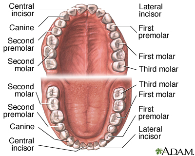 teeth names and locations guide to communicate value, Human Body