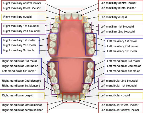 teeth names positioning diagram