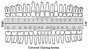 teeth numbers adult