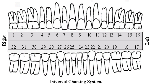 Teeth Numbers In Adult And Children