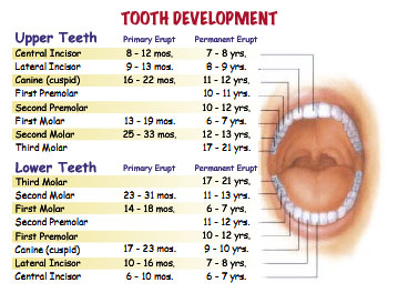 teeth names and their functions