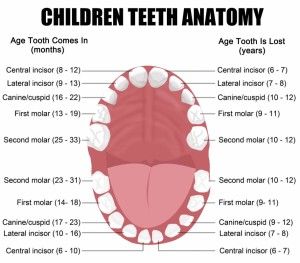baby children teeth anatomy
